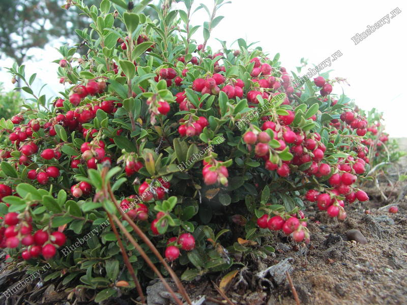Брусника в саду выращивание 2